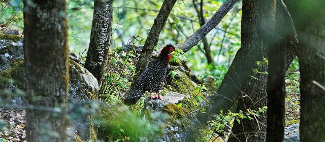 Western Trgopan, Nada Meadow (3,300 m), Tirthan Valley