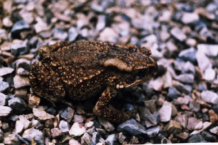 Himalayan Toad