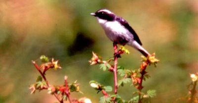 Grey Bushchat, Sainj 2,000 m