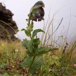 Aconitum heterophyllum