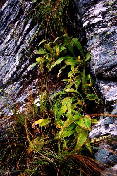 Nardostachys grandiflora on rocky habitat
