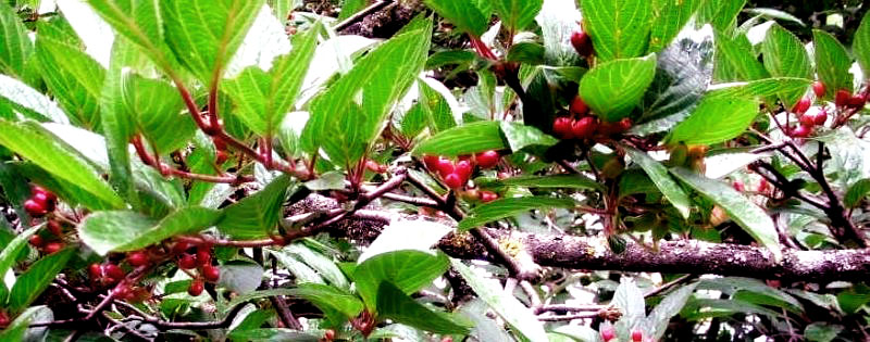 Shrubs, Viubernum berries prefered by the Himalayan Black Bear