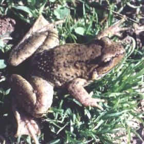 Stoliczka's Frog