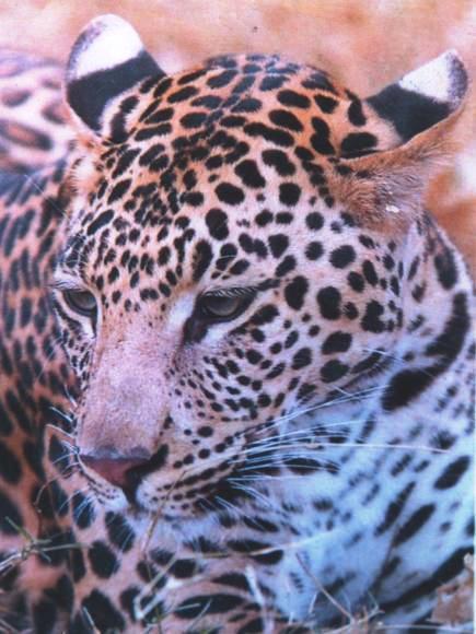 4. Leopard