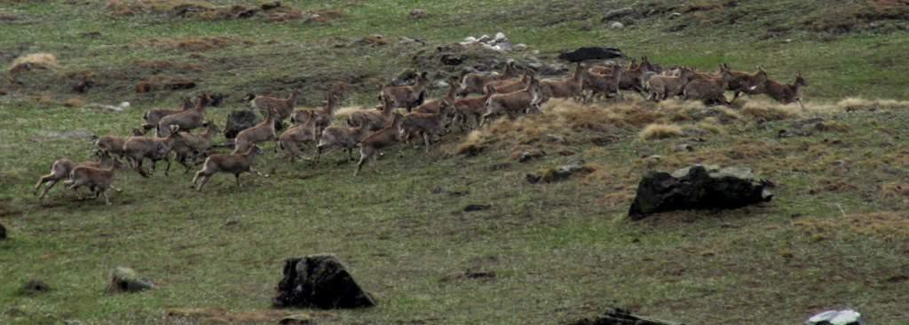 Bharal or Blue Sheep in Tirthan Headwaters
