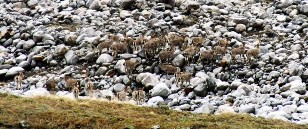 Bharal (Blue Sheep) crossing a dry rivulet