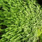 Ferns on a wet rock, GHNP