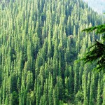 Fir Forest in Tirthan Valley (2900 m)