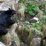 Himalayan Black Bear, GHNP