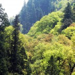 Mixed coniferous Forest, Sainj Valley (3000 m)