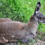 Musk Deer, found in GHNP above 3,500 m