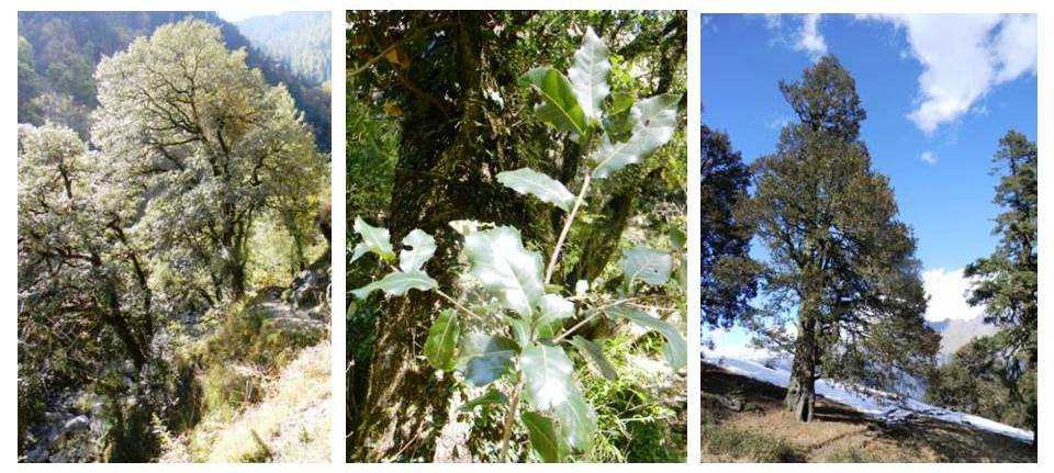 L to R: White (Ban in local language) oak; Green (Moru) oak; Brown (Kharsu) oak.