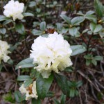 Rhododendron anthopogon, Sainj Valley 3,800 m