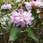 Rhododendron campanulatum in Nada Meadow, Tirthan (3,000 m)