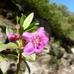 Rhododendron lepidotum, Sainj Valley 3,200 m