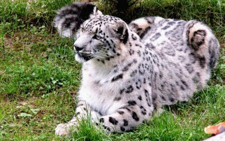 Snow Leopard, State animal of Himachal Pradesh, is found in the upper GHNP