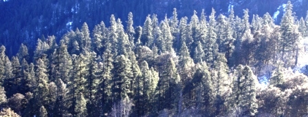 Fir Forest in Sainj Valley