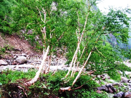 Birch Trees in Upper Sainj Catchment, 3,300 m