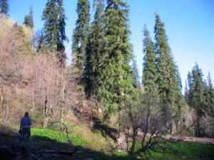 Towering Fir Trees of the Great Himalayan National Park