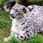 Snow Leopard found in GHNP above 3,700 m