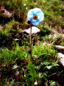 Meconopsis aculeata (Himalayan Blue Poppy), Parvati Valley (3900 m )