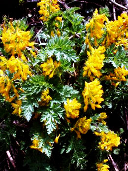 Corydalis govaniana, Khorli Poi (3,000 m) in Tirthan Valley