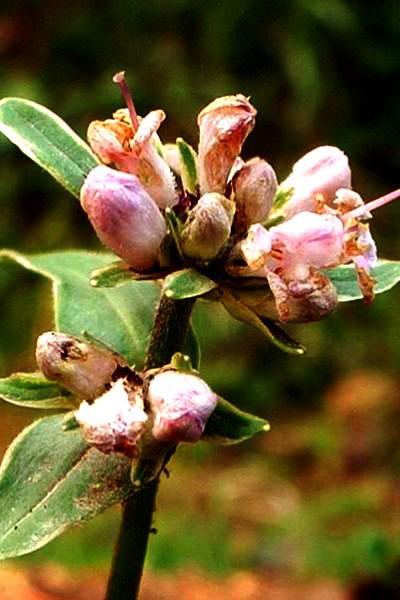 Nardostachys grandiflora Flowers 2,900m