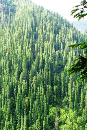 Conifer Forests in Tirthan Valley 2,800m
