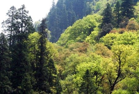 Mixed Conifer Forest in Tirthan Valley