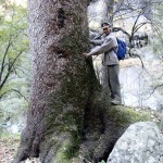 At the base of Fir tree (more than 5 m diameter) in Sainj Valley (2,800 m)
