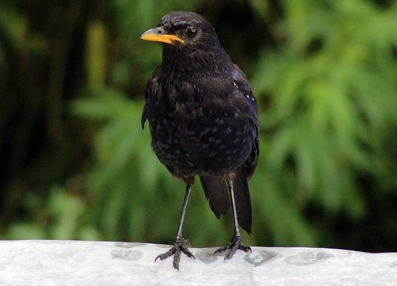 Blue Whistling Thrush, Sainj 2,000 m