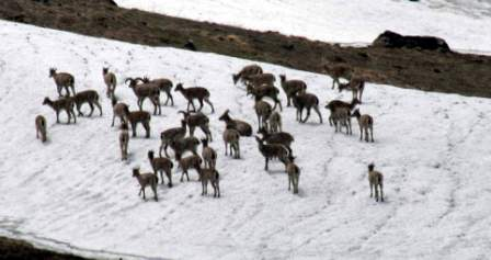 Regular surveys and census are done to monitor the Bharal (Blue Sheep) population. They are the main prey species for the Snow Leopard (Bharal at Tirath in Tirthan Valley).