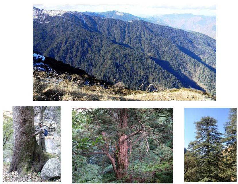 Top: A Fir forest in Sainj Valley of GHNP; L to R: A Fir tree; a Yew tree; a cedar (deodar) tree