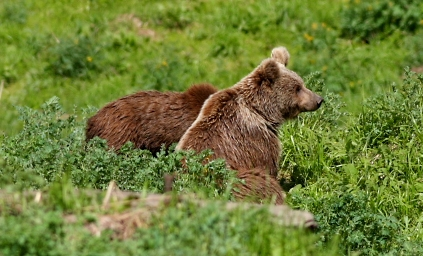 Himalayan Brown Bear