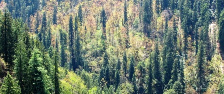 Mixed Conferous Forest in Tirthan Valley