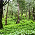 Sub temperate Forests, Tirthan Valley GHNP