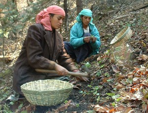 WSCG members working with the medicinal plants