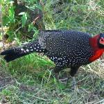 Western Trgopan, IUCN Red Data listed