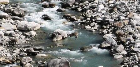 A Blue Sheep crossing Tirthan River near the headwaters