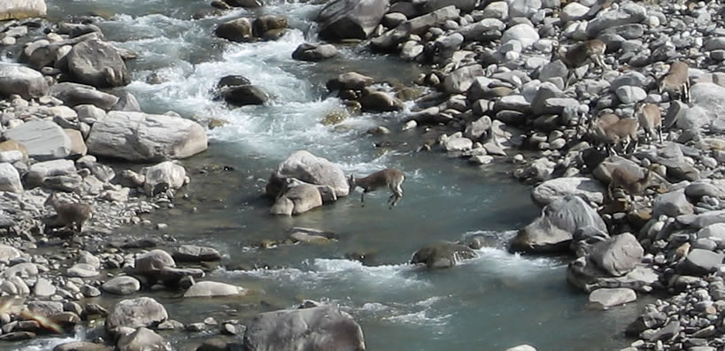 Easy sightings of Blue Sheep indicate that Park is safe place for the local flora and fauna (Tirthan Valley, GHNP).