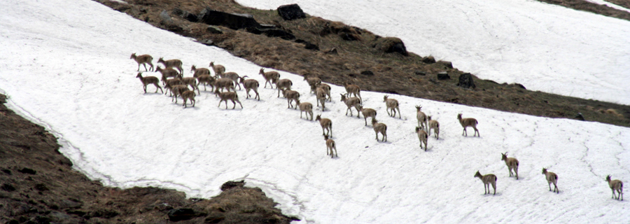 7.-Blue-Sheep-Bharal-in-Spring-Tirath-4000-m-Tirthan-Valley-GHNP